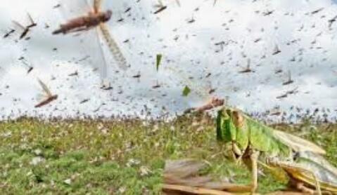 हिंदी समाचार | टल गया टिड्डी हमले का संकट,...