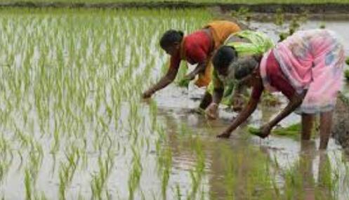 हिंदी समाचार | हाइब्रिड बीजों पर किसानों को...
