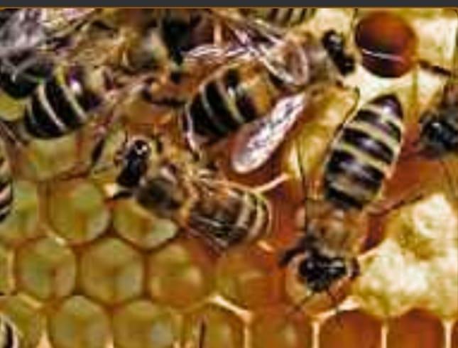 हिंदी समाचार  मधुमक्खी के हमले से महिला की...